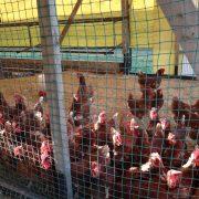 平飼い養鶏場